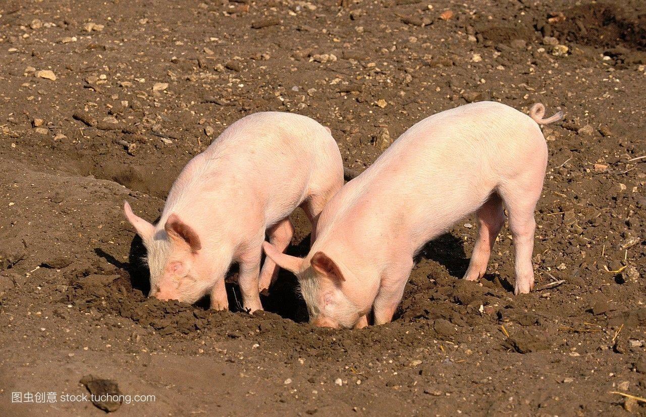 猪咳嗽吃什么好,猪间断性咳嗽怎么治