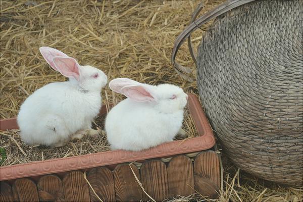 兔子一般吃什么?兔子吃什么饲料?