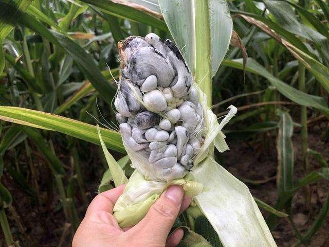 长了霉菌的玉米还能吃?益气养阴、补气安神、健脾胃,吃到捡到宝