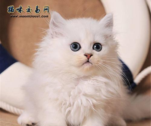 金吉拉公猫多大成年图片