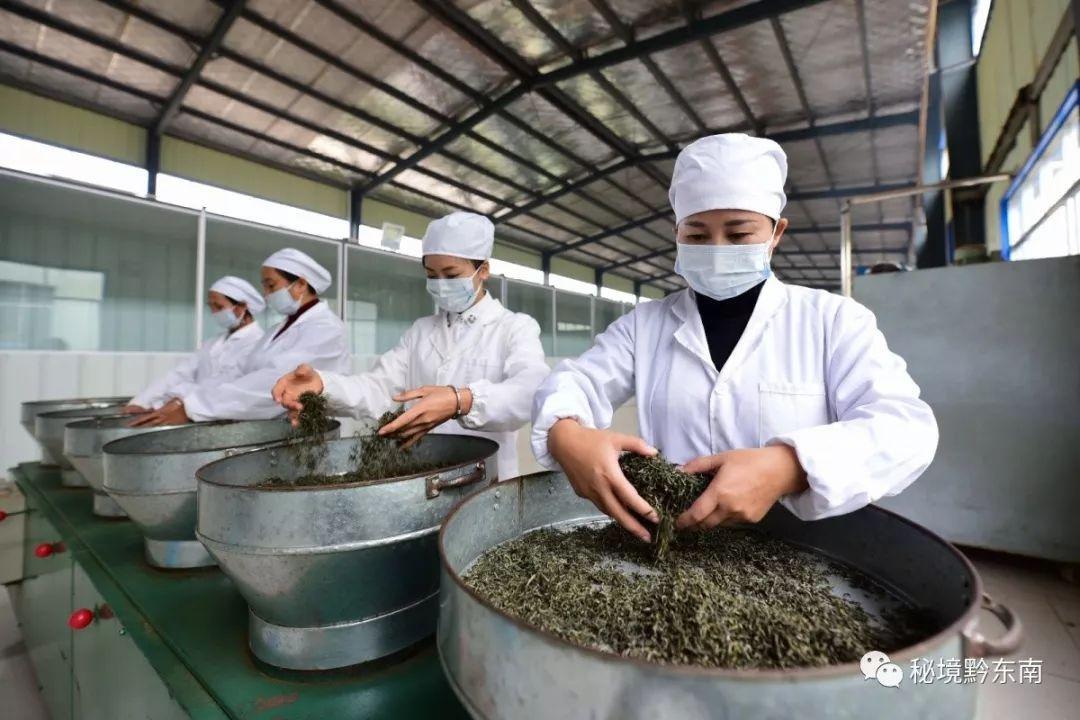 【聚焦丹寨】种茶17年,有志苗家女艰辛创业带富众乡邻