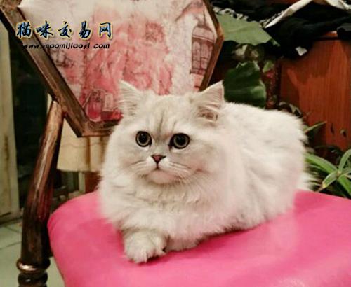 金吉拉猫最晚几岁发情图片