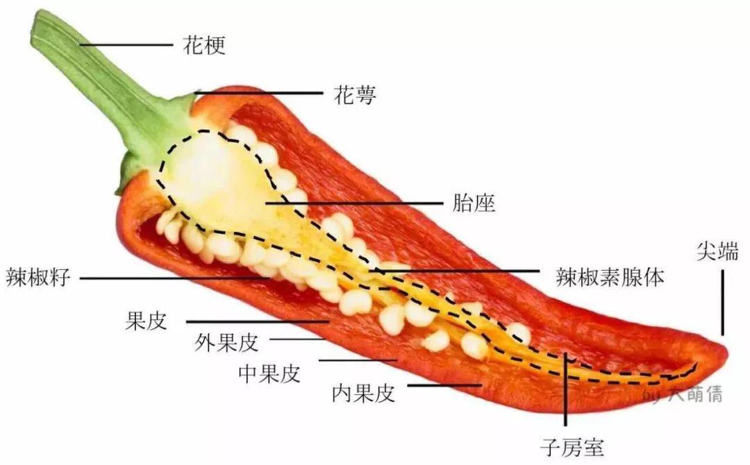 辣椒结构示意图(作者手绘)