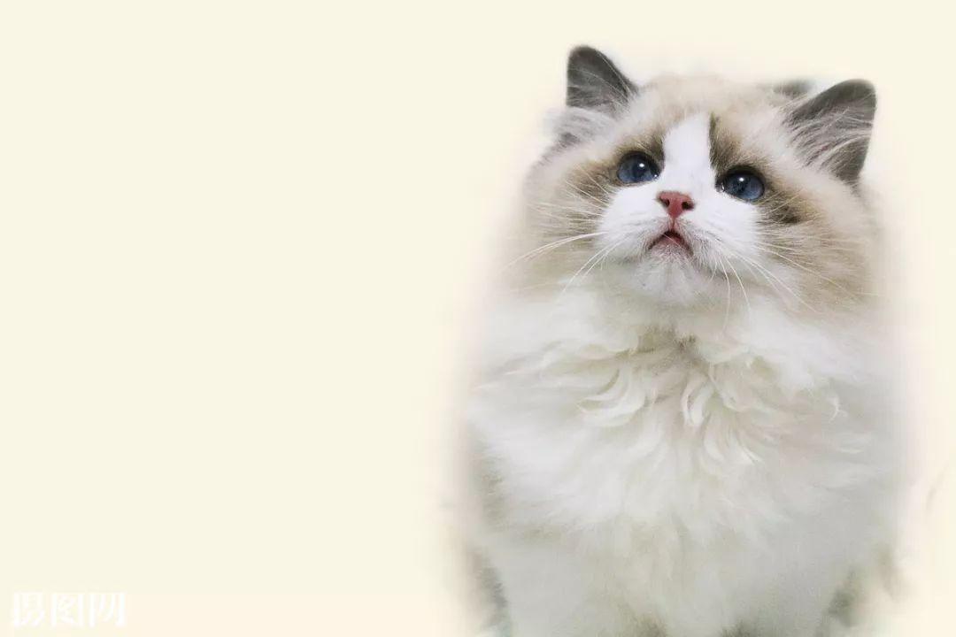 宠物|猫星人入侵第二部—布偶猫