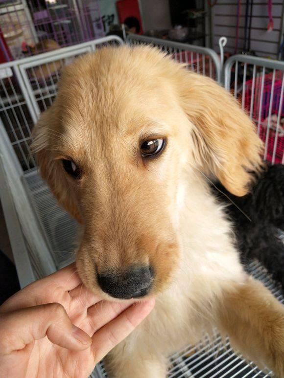 5个月金毛犬图片_宠物店老板告诉我这只金毛三个月了,它为什么长这么大?_年龄
