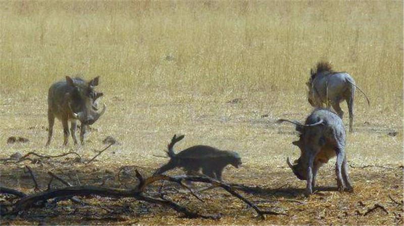 平头哥主动挑战疣猪,还以为害怕逃跑,没想到接下来霸气展现