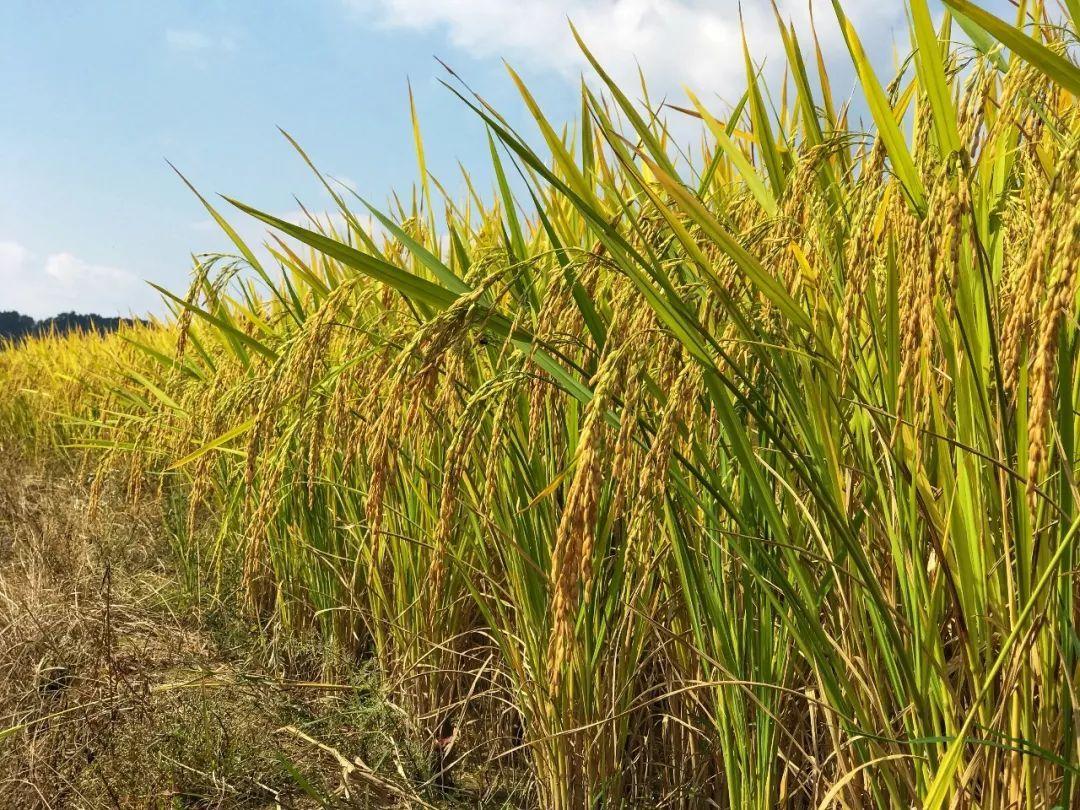 早晨,田野上轻飘着一层薄薄的雾气,水稻沾满了晶莹的露珠,在阳光的