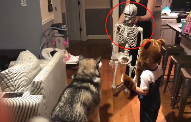 """主人买了一副""""骷髅""""吓二哈,结果它很淡定:这骨头能吃吗?"""