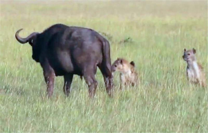 鬣狗捕食大野牛,直接咬住野牛要害处,根本没有反抗之力