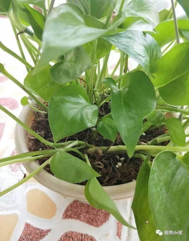 绿萝叶子楣了还能长吗图片