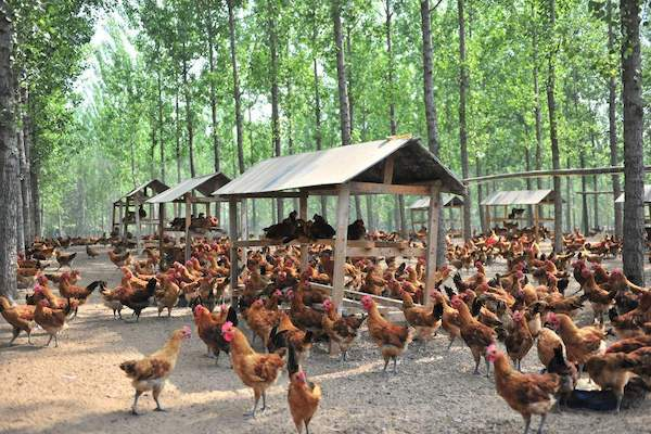 情侣放弃出国留学机会,回乡创业养鸡,实现人生价值