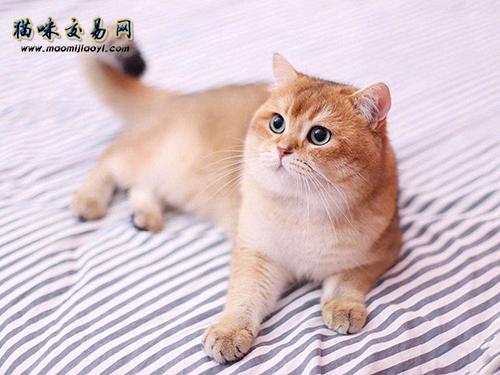 英国短毛猫怎么看品相图片