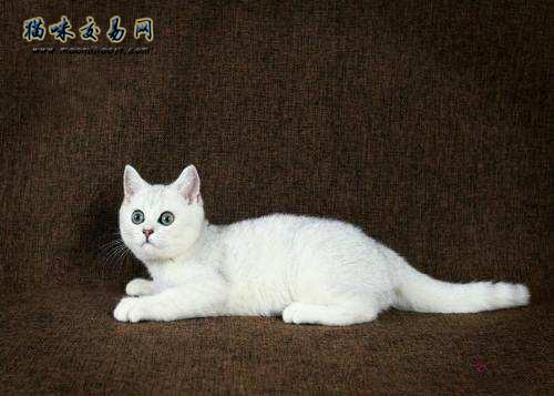 美国短毛猫能活多久图片
