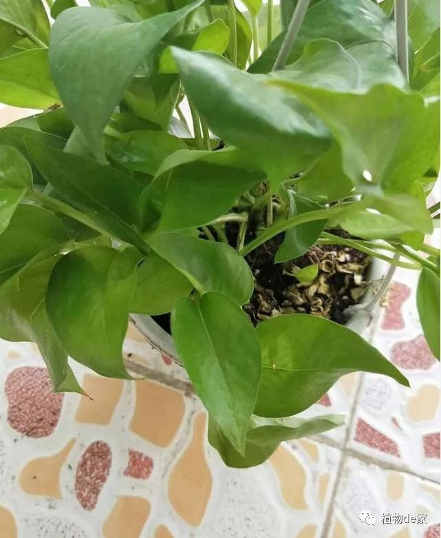 绿萝叶子能长多大图片