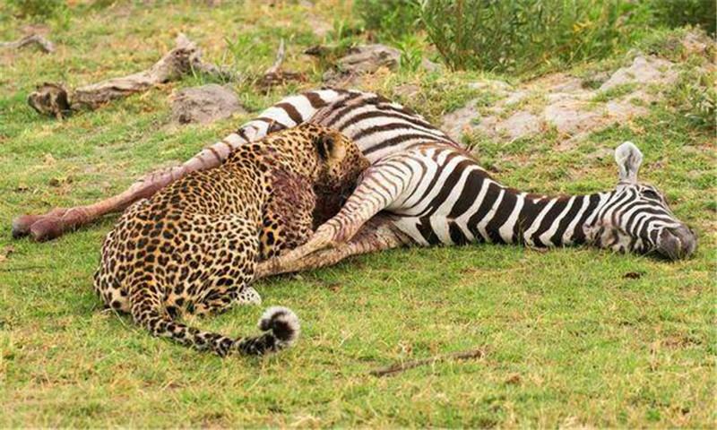 猎豹捕食斑马,吃饱后在旁边休息,不料晚上出现如此罕见画面