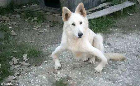 狗狗O型腿被主人抛弃,好心人救助后重拾健康!