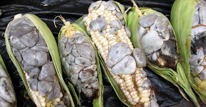 村妇担心食品安全将长满黑包的玉米丢弃老人却笑得合不拢嘴!