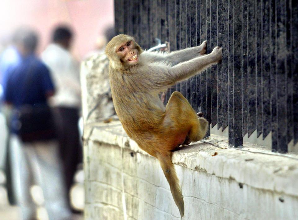 印度72岁老人被猴子砸死,家人欲起诉猴子