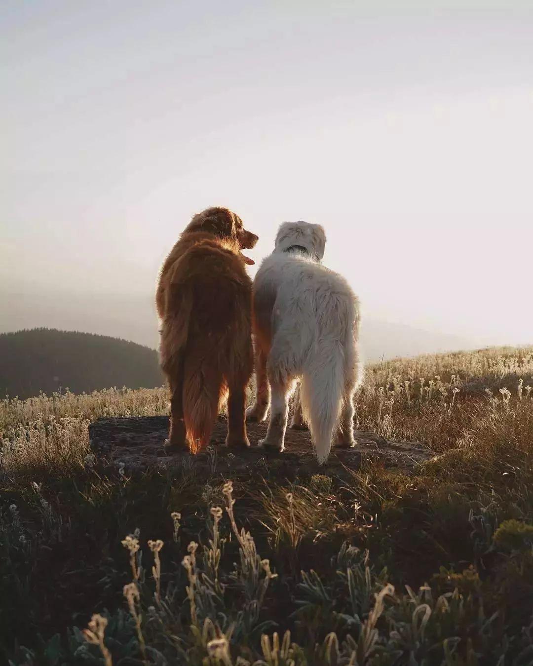 """這兩只大金毛的""""旅行照"""",讓網友們嫉妒到想哭…-華夏娛樂360"""