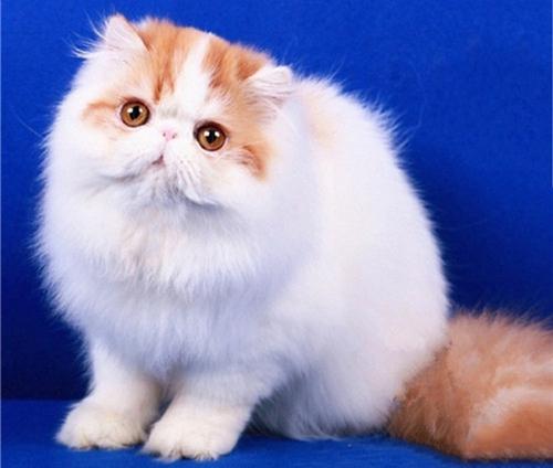 养波斯猫有什么好处吗图片