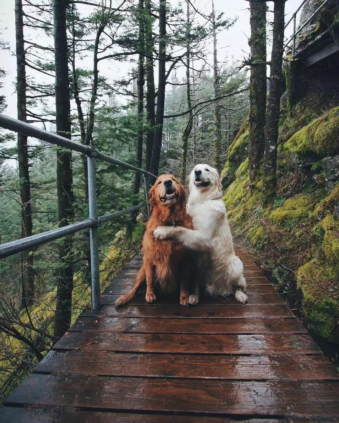 """這兩只大金毛的""""旅行照"""",讓網友們嫉妒到想哭…"""