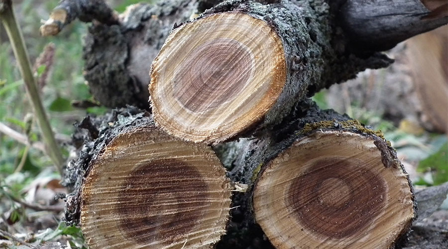 如何种香榧必看的一份香榧栽培攻略_榧树