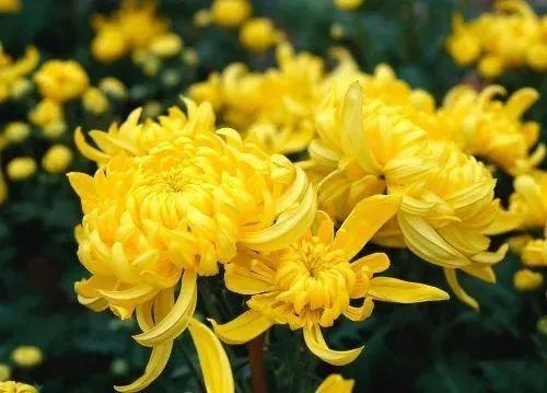 霜降习俗 霜降时节,正是秋菊繁盛的时候,我国多地在这时要举行菊花会
