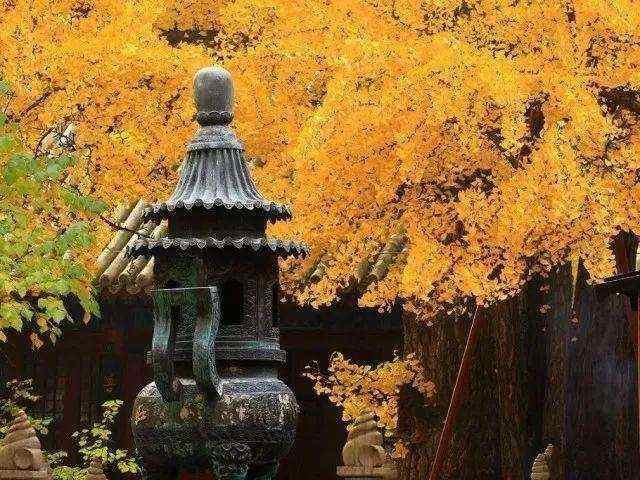 河北深山1500年古寺,竟藏了个2000年古银杏树群?美到开挂