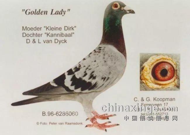 """这羽鸽子厉害了!考夫曼超级种鸽""""黄金女郎"""