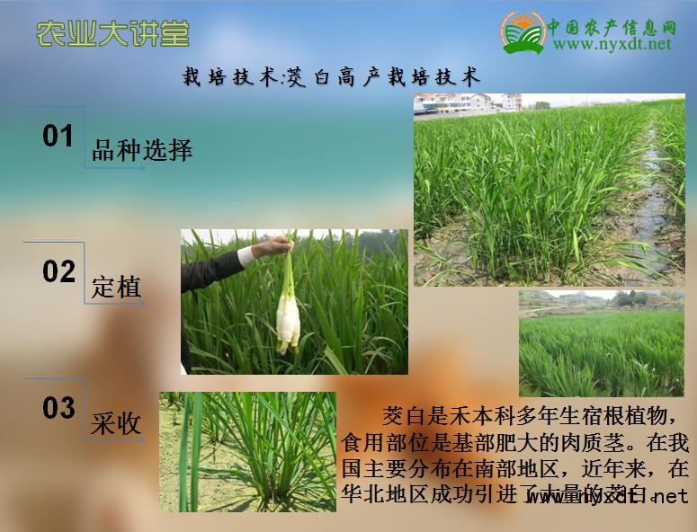 栽培技术茭白高产栽培技术_分蘖