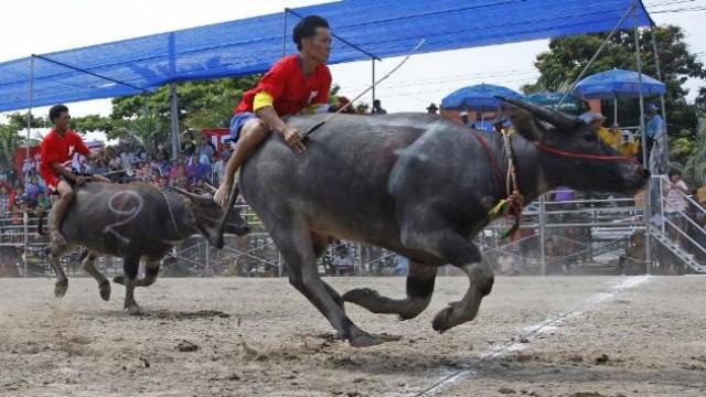 泰国骑水牛比赛 迄今已有140年的历史