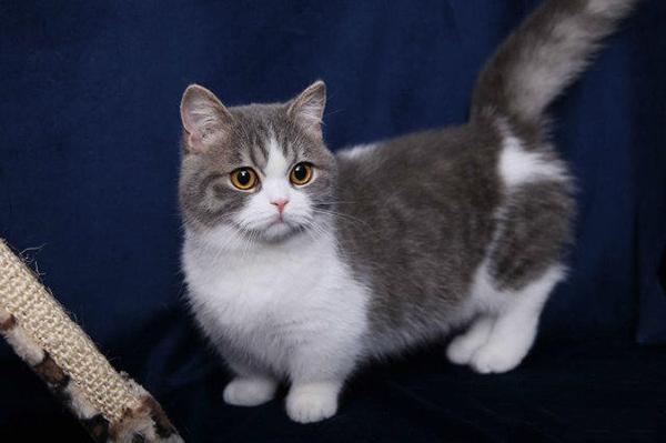 矮脚猫怎么样图片
