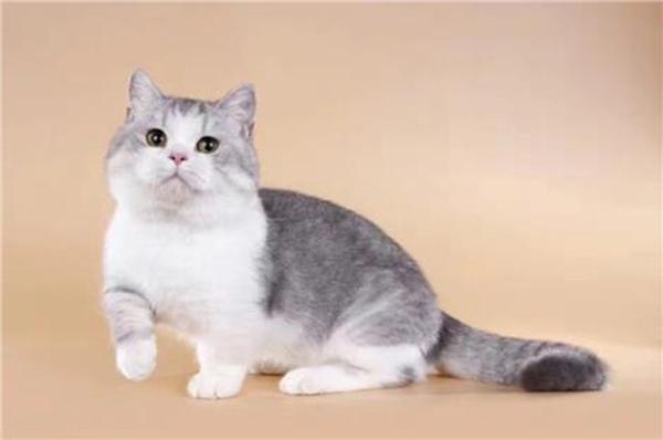 矮脚猫图片
