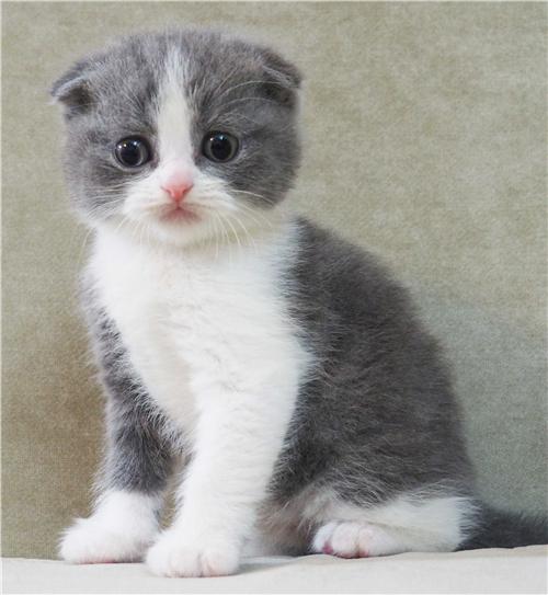 什么是半折耳猫图片