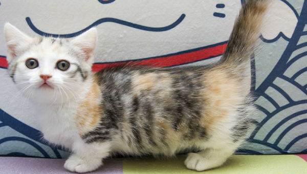 矮脚猫视频图片