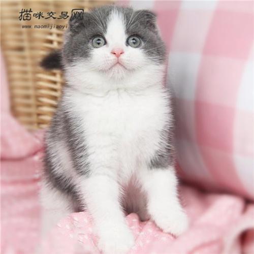 猫咪折耳猫图片