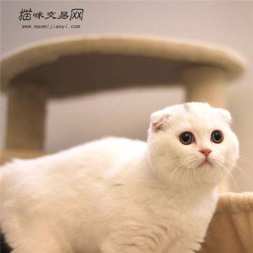猫折耳是一种病吗图片