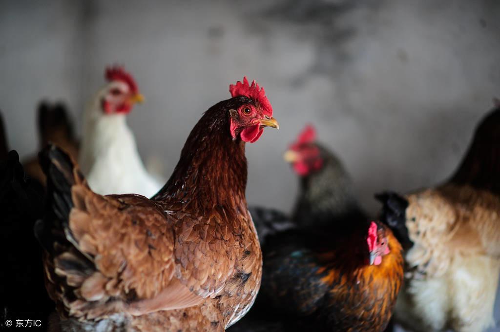 花椒芽养鸡