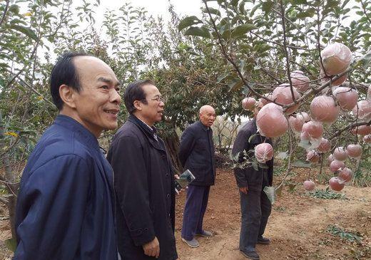 """河南济源:崔家庄鳌背山""""富硒苹果""""熟了"""