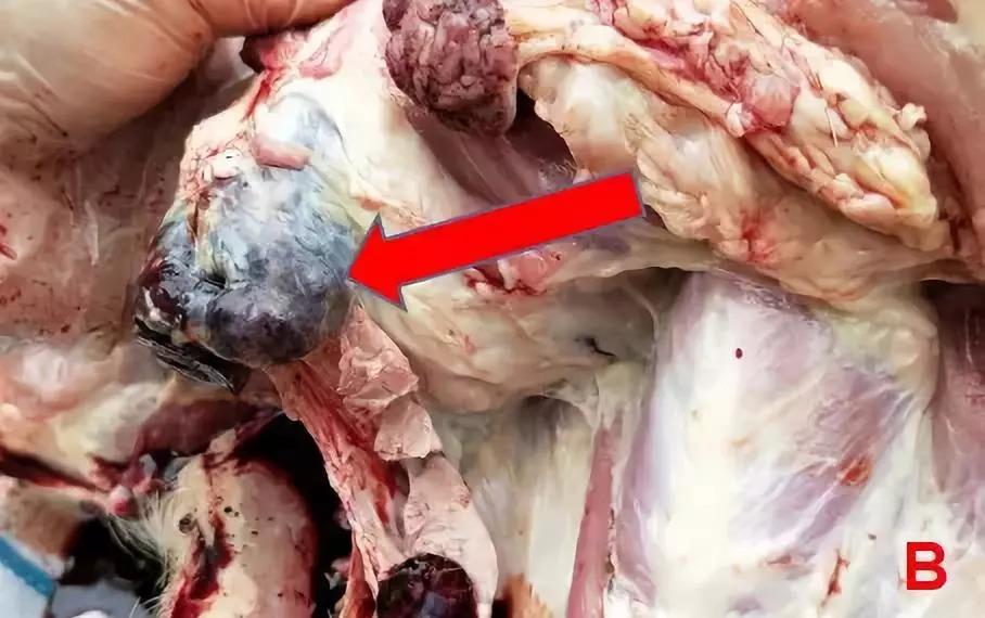非瘟防控丨国内首例非洲猪瘟现场诊断报告 高清解剖图