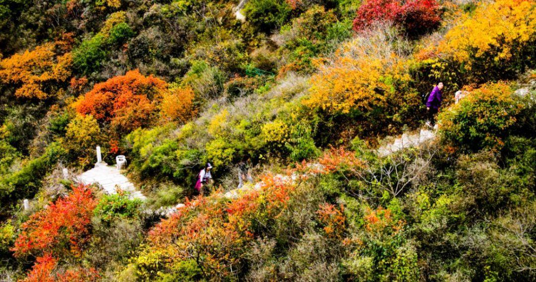 鳳凰嶺把最美的風景留給秋天!紅葉進入最佳觀賞期.