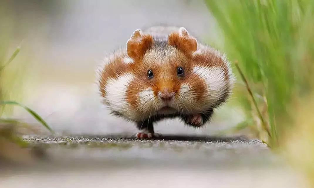 一文带你走进仓鼠世界:仓鼠种类之坎贝尔仓鼠