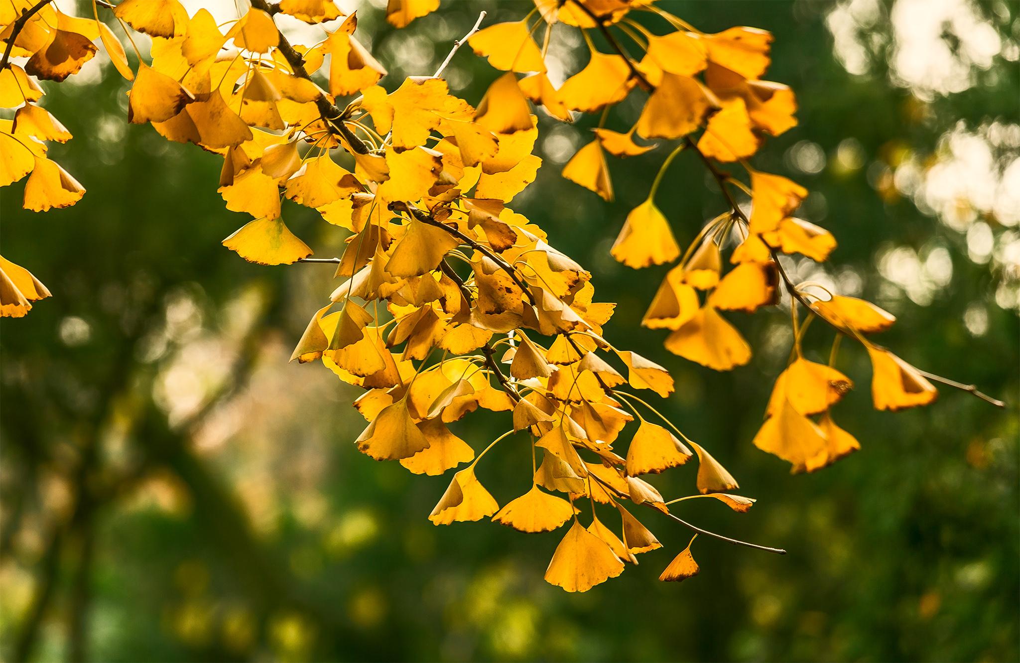 银杏,无锡惠山古镇秋天最美的诗意
