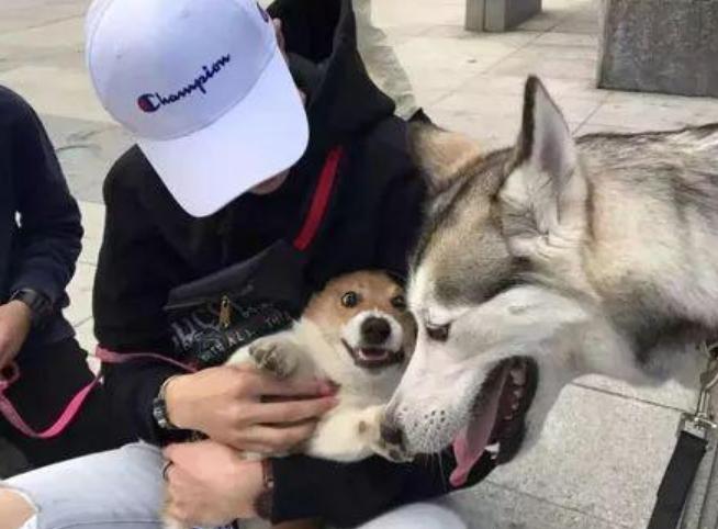 帶二哈遛狗偶遇柯基,本想上前打個招呼,結果柯基的反應笑噴了!-華夏娛樂360