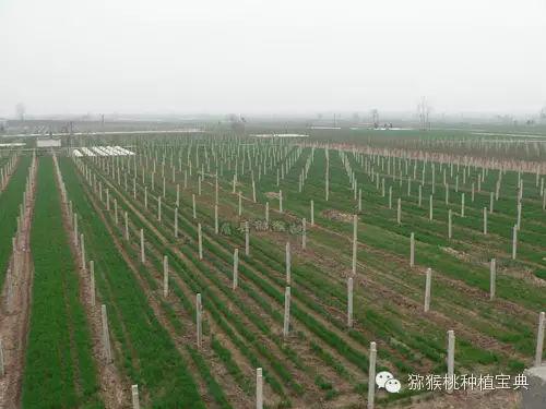 初建山东淄博博山猕猴桃树苗园,园址应选择在背风向阳,水资源充足,灌溉方便,排水良好,土层深厚,PH值在5.5—7.5之间,富含腐殖质的地区。