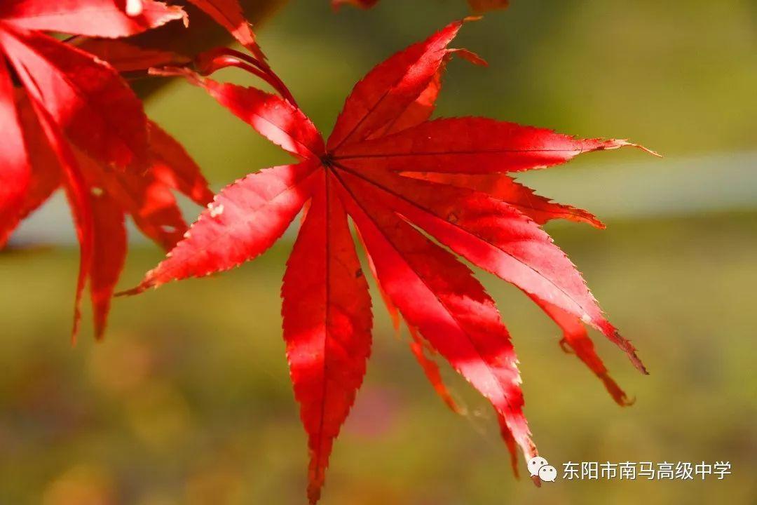小小红叶树的叶子已经红透,一丛金黄 一丛火红秋意深浓.