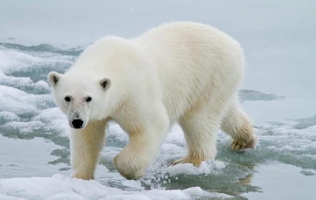 好心人给要算是北极熊触犯,喂食法律呢?可梦见涨知识了孕妇饿死章鱼大怪兽图片
