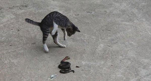 越南一家猫为捍卫领地勇斗毒蛇数分钟