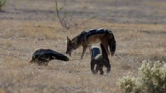 非洲亂不亂,蜜獾說了算:生死看淡,不服就幹!-華夏娛樂360
