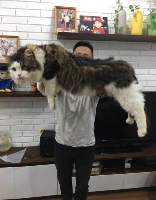 虽然缅因猫拥有壮硕的身材和巨大的胃口,但是养了